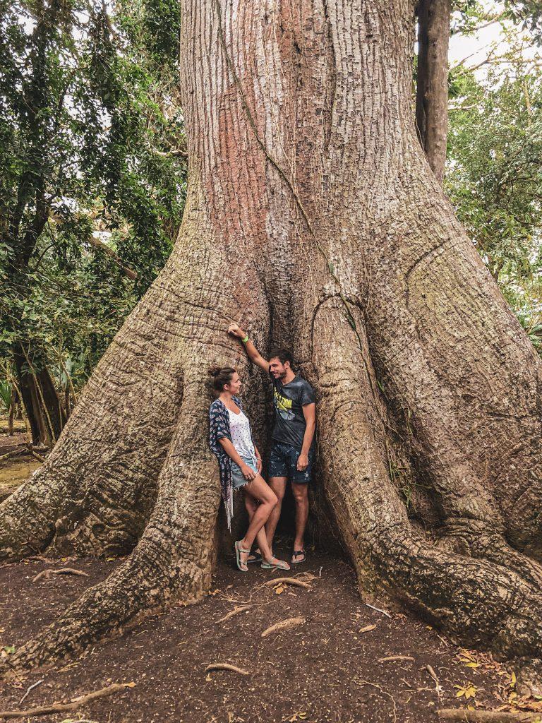 ceiba drvo